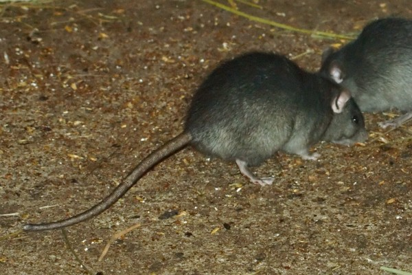 Mutant Super Rats And Non Return Valves